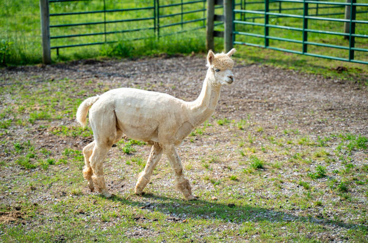 In the past three years, the alpacas have helped UK researchers generate more than 50 nanobodies to target proteins involved in a variety of human diseases including cancer, diabetes and neurological disorders. Photo by Ben Corwin, Research Communications