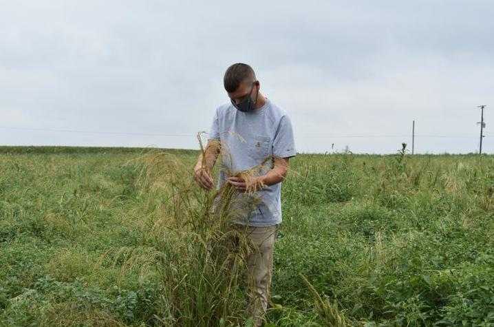 Eric Luteyn, UK student and U.S. Army veteran, studies one of the many varieties of teff in his research plots at UK's Spindletop Research Farm