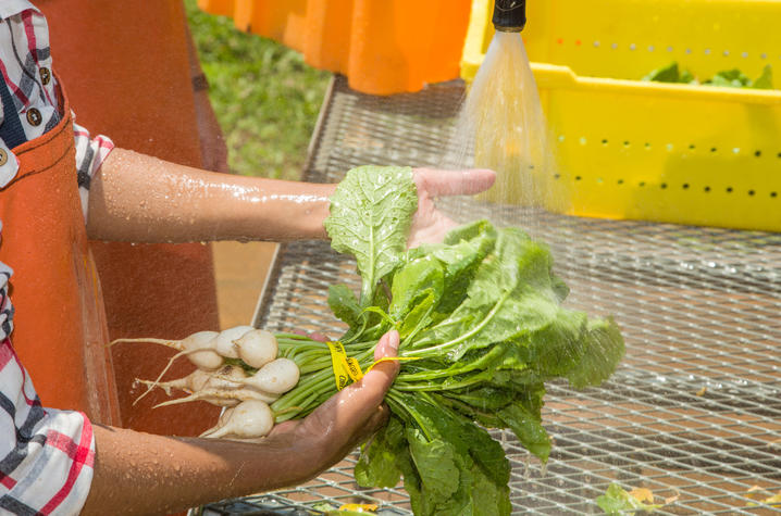 photo of produce being washed by UK Ag's CSA