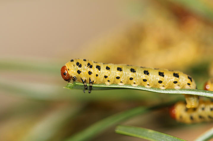 photo of sawfly
