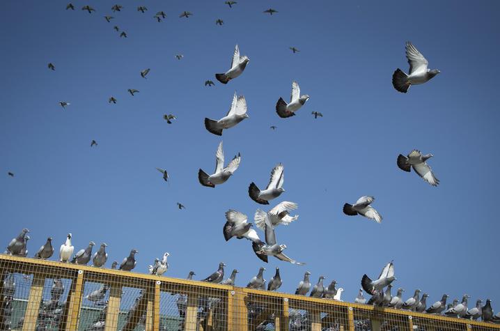 "Scenes fromDavid Stephenson'sNon-Scripted Documentary""Pigeon Beat""."
