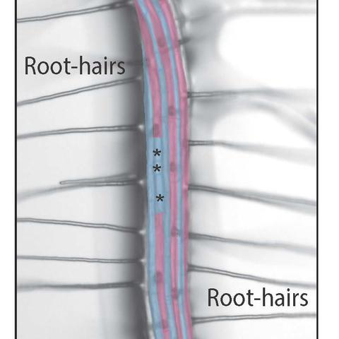 root hairs diagram