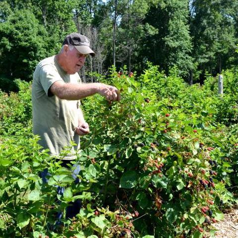 photo of farmer picking blackerries on Muhlenberg County farm