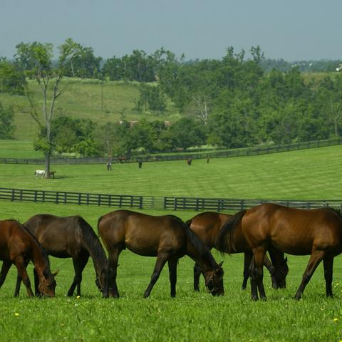 Horses grazing near Lexington