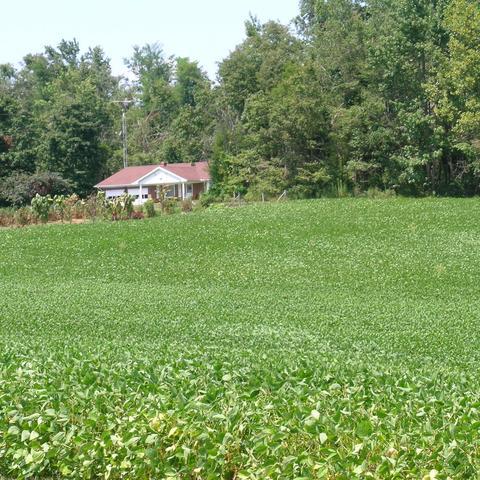 Soybeans in field
