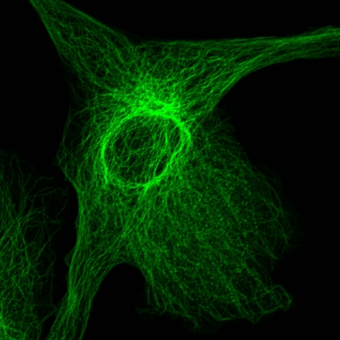 Image from the Nikon A1RSi, Light Microscopy Core