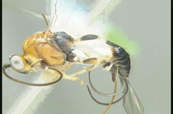 Wasp Named for Emily Nadeau