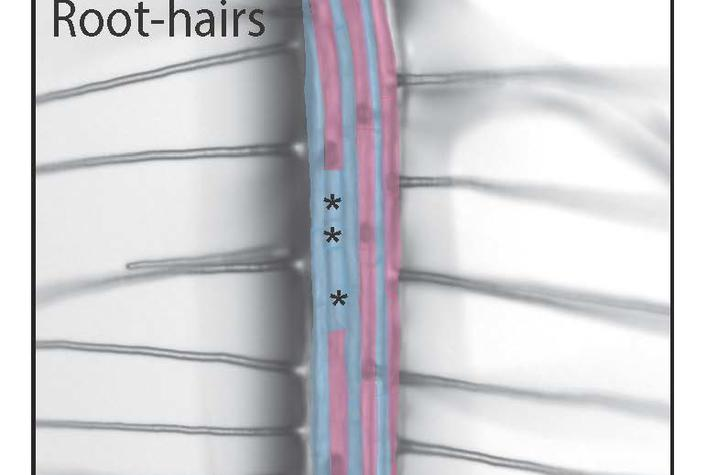 root hairs diagram