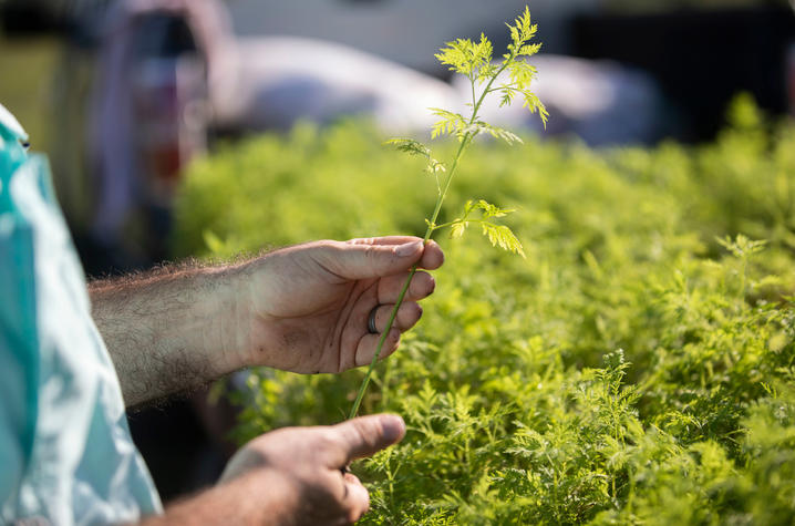 Patrick Perry holding an artemisia annua seedling