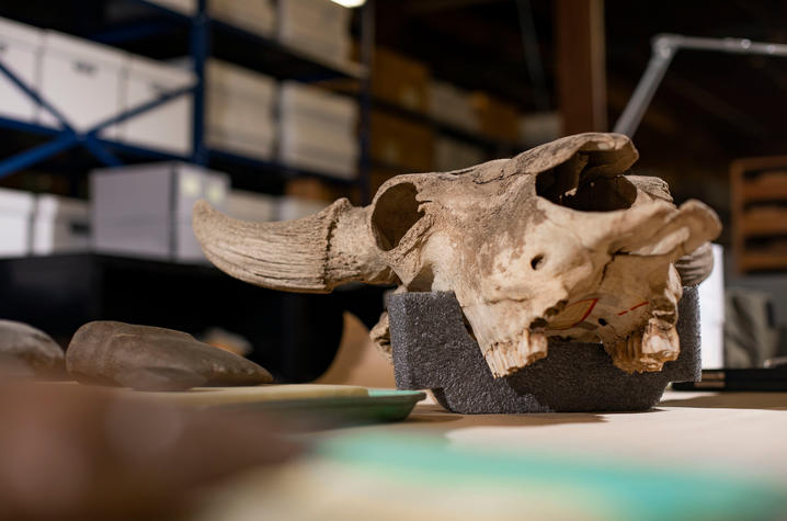 photo of an animal skull in the Webb Museum of Anthropology