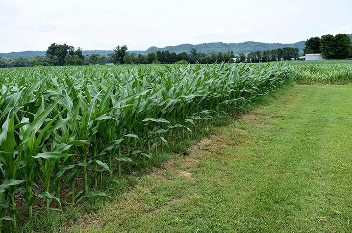 Corn grows on Aaron Reding's farm in Howardstown in Nelson County. Photo by Katie Pratt, UK agricultural communications.