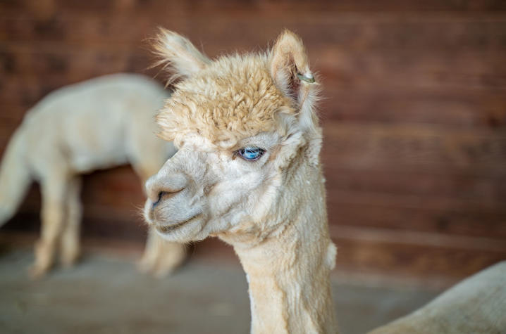 In the past three years, the alpacas have helped UK researchers generate more than 50 nanobodies to target proteins involved in a variety of human diseases including cancer, diabetes, and neurological disorders. Photo by Ben Corwin, Research Communication