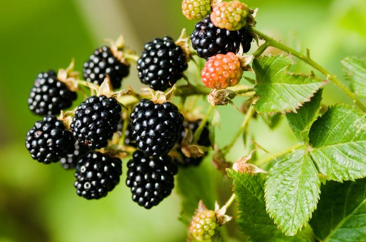 With the BerryCare program, the CEC is connecting UK-SRC research with the local community by providing access to nutrient-packed blackberries.