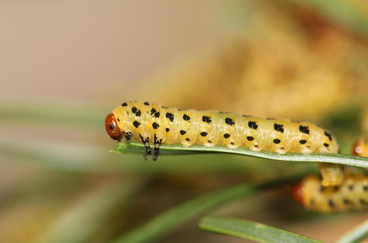 photo of sawfly