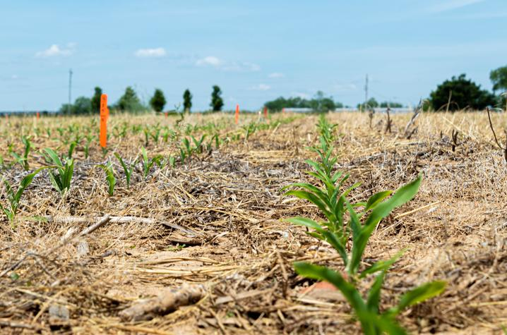 """Seedlings in the """"Sacred Acre,"""" emerge. Photo by Ginny Gregory, Kentucky Distillers' Association"""