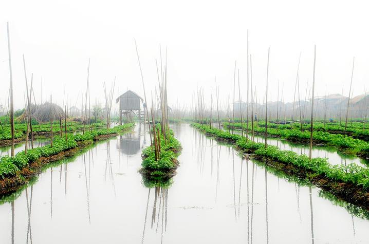 stock photo of tomato field in Myanmar