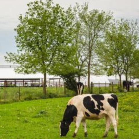 Dairy Cows Grazing, Photo by Matt Barton, UK Ag Communications