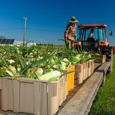 Sweet Corn Harvest