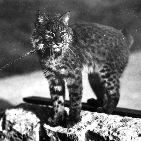 black and white photo of live UK wildcat mascot