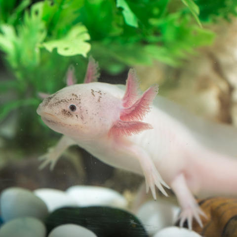 The UK study, which focuses on axolotl salamanders, gives insight into the evolution of limb development. Argument, iStock/Getty Images Plus.