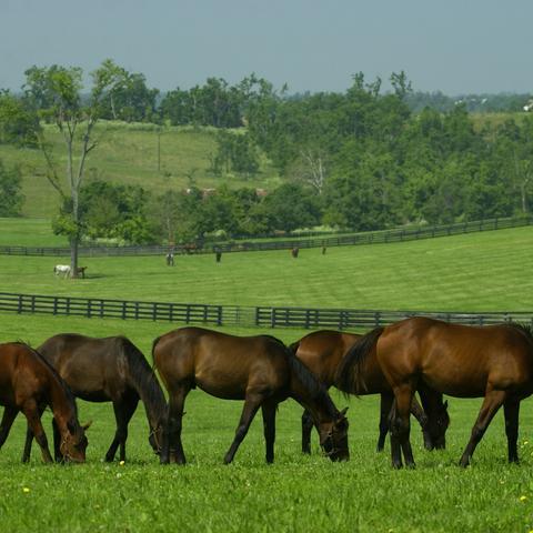 Horses grazing near Lexington