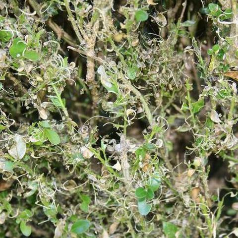 Damage to a boxwood caused by the box tree moth