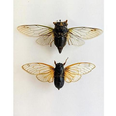 Preserved specimens show the difference between the annual cicadas (top) and the periodical cicadas.
