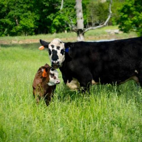 Livestock in field