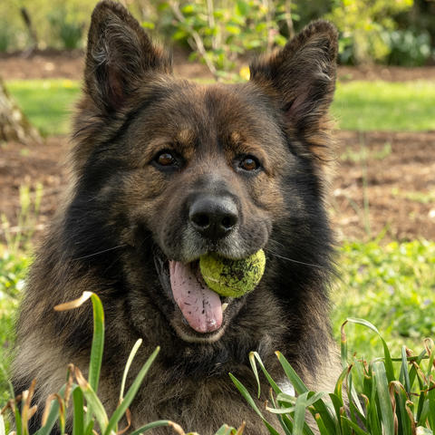photo of dog with tennis ball