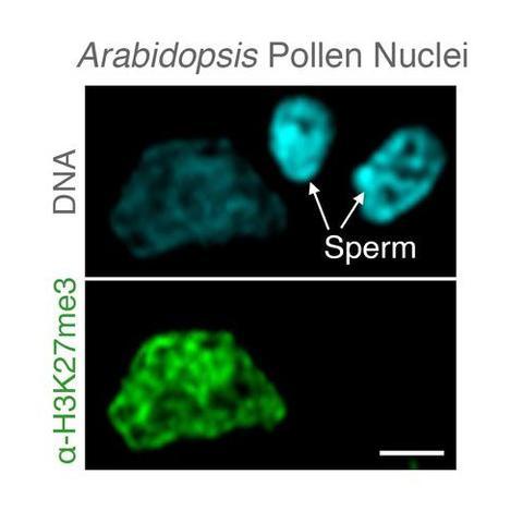 Microscopic image of Arabidopsis pollen nuclei