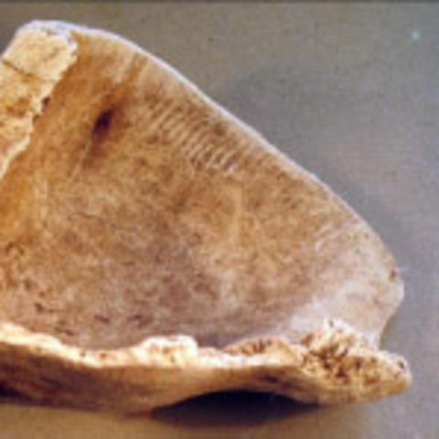 Whelk shell cup likely created around the time that the Spanish were starting the missions.